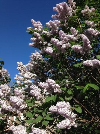 Être accueilli par les senteurs d'un beau lilas